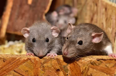group of rats under decking